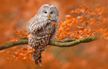 Keywords: leaves;nocturnal;tree;bird;autumn;curious;brown;sitting;yellow;perch;eared;night;feather;owl;orange;stump;cute;hunter;perched;plumage;portrait;ornithology;small;wood;stare;czech;beak;forest;close;predator;long;outdoors;art;avian;branch;ural;wild;nature;raptor;little;eye;oak;prey;animal;wildlife;sweden;france;germany;norway;finland